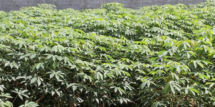 Cassava – The potato of the tropics as best alternative during global climate change